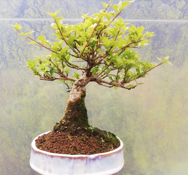 Premna Japonica Musk Maple Bonsai Tree