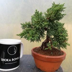 Chinese Juniper Shohin pre-bonsai Tree