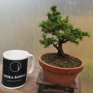 Ezo Spruce, Picea Jezoensis Bonsai Tree