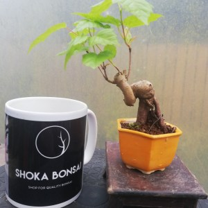 Mini Acer Maple Bonsai Tree