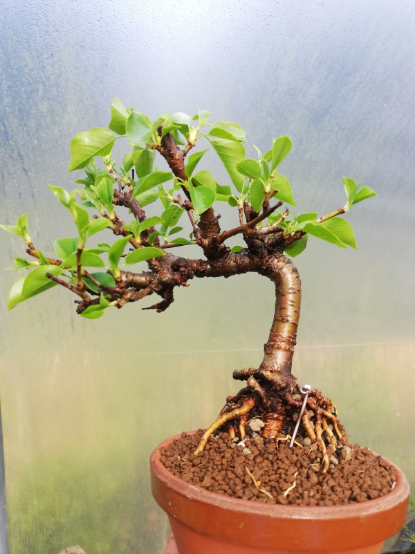 Flowering Cherry Bonsai Tree