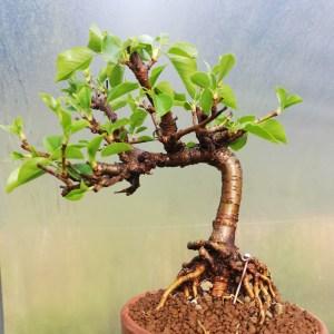 Flowering Cherry Bonsai Tree