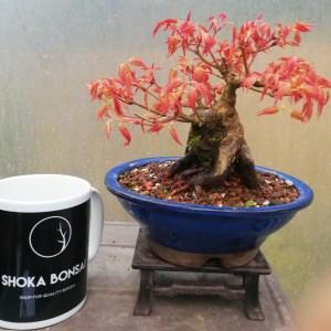 Acer Palmatum Katsura Sumo Trunk Bonsai
