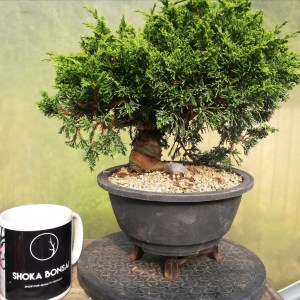 High Quality Juniper Itiogawa Bonsai in training