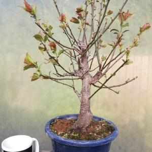 Prunus Mume Flowering Bonsai Tree