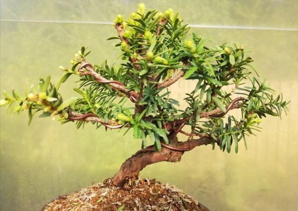 Taxus Cuspidata/Japanese Yew Shohin Bonsai Tree