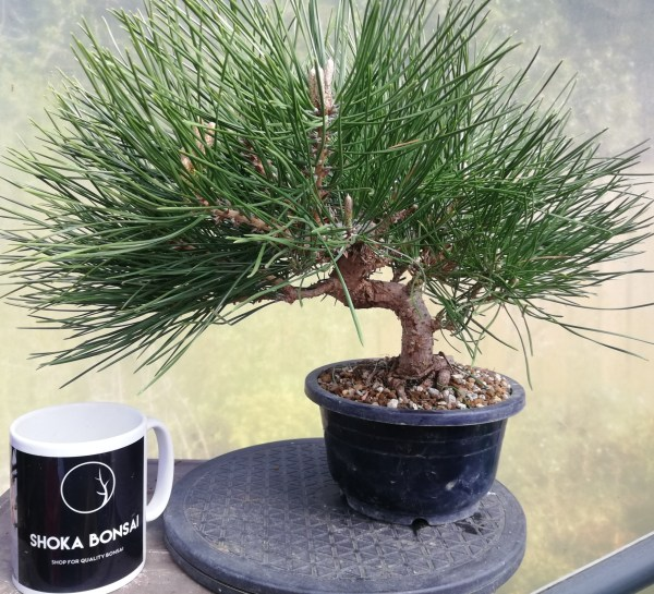 Japanese Black Pine/ Pinus Thunbergii Pre-Bonsai
