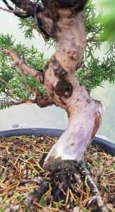 Juniper Itiogawa Bonsai Tree in Training