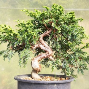 Juniper Itiogawa Bonsai Tree