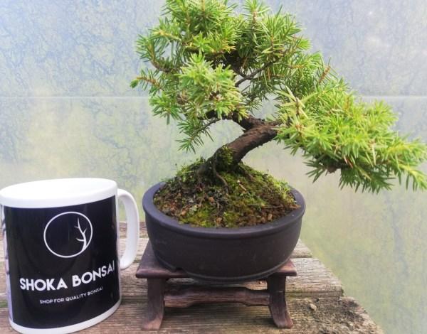 Juniper Rigida Tosho Bonsai Tree