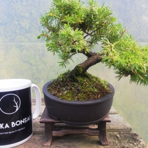 Juniper Rigida Tosho Bonsai Tree