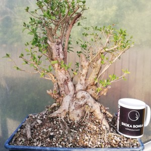 Ligustrum Bonsai Material