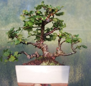 Nothofagus Beech Bonsai Tree