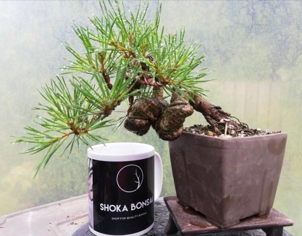 Knarly Shohin Scots Pine Bonsai Tree