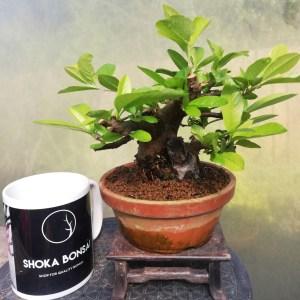 Shohin Pyracantha Bonsai Pre-bonsai material