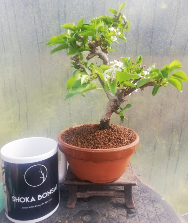 St Lucie Cherry flowering Bonsai