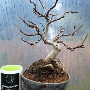 Amelanchier Bonsai tree