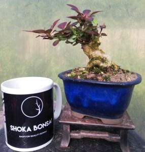 Barberry Bonsai Tree