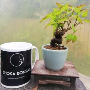 Cornus Kousa Mini Bonsai