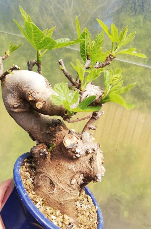Ficus Carcica Fig Bonsai in training