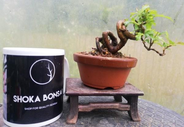 Mini Japanese Crab Apple Bonsai