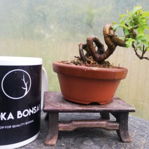 Mini Japanese Crab Apple Bonsai
