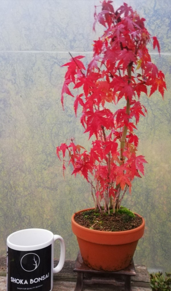 Japanese Maple Group Bonsai Tree