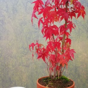 Japanese Maple Group Bonsai Tree