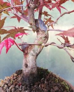 Japanese Maple Deshojo Shohin Bonsai Tree