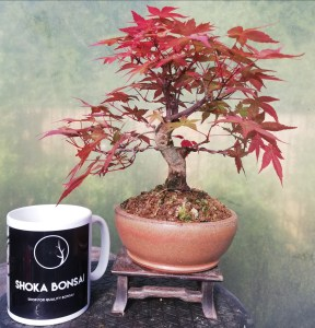Japanese Maple Deshojo Shohin Bonsai Tree