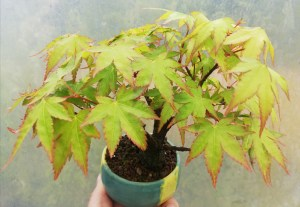 Japanese Maple shohin Bonsai Tree