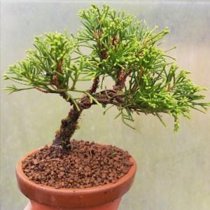 Chinese Juniper Itiogawa Mini Bonsai Tree in training