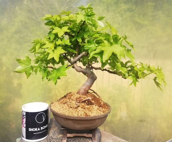 Liquidamber Bonsai Tree