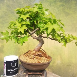 Liquidamber Bonsai Tree