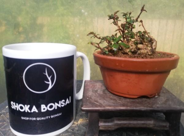 Mini Fuschia Bonsai tree
