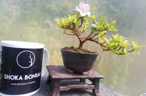 Mini flowering Satsuki Azalea semi cascade Shohin Bonsai
