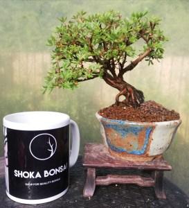 Potentilla Shohin flowering Bonsai Tree