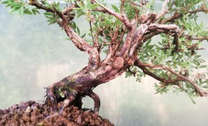 Potentilla Shohin flowering Bonsai Tree