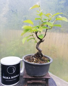 Chinese Quince Pseudocydonia pre-Bonsai
