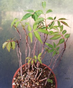 Dwarf Rhus bonsai accent