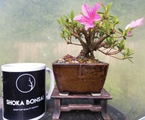 Beautiful flowering Satsuki Azalea Mini Bonsai