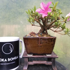 Beautiful flowering Satsuki Azalea Mini Bonsai