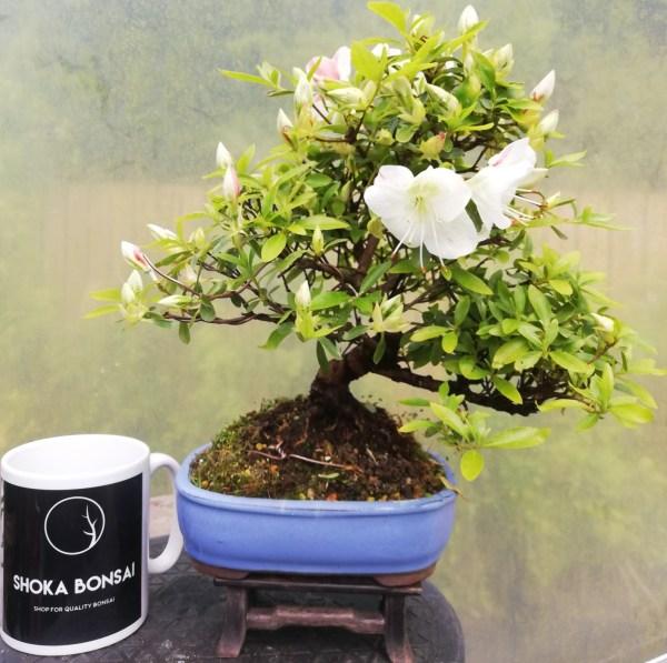 Beautiful flowering Satsuki Azalea Bonsai tree