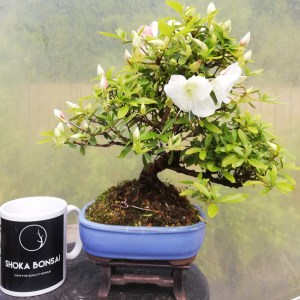 Beautiful flowering Satsuki Azalea Bonsai tree