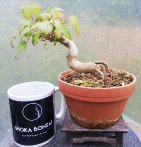 Trident Maples Bonsai tree