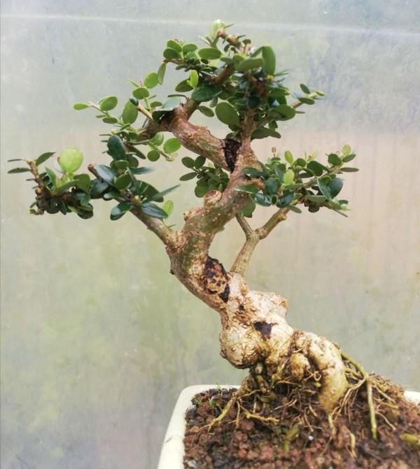 Wild Olive shohin Bonsai Tree