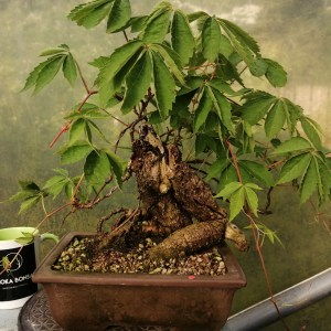Virginia creeper bonsai tree