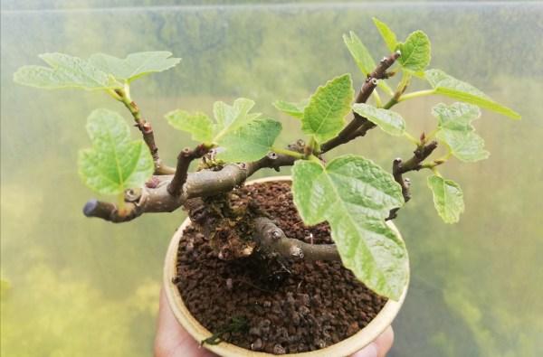 Mini Fig Bonsai tree