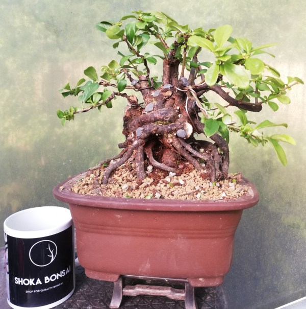 Quince flowering bonsai tree