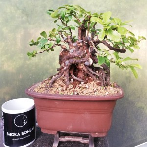 Quince flowering bonsai tree